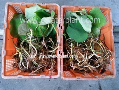 Red Lotus nelumbo for sale