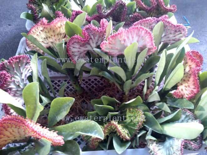7 color euphorbia lactea Thailand