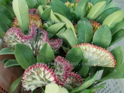 buy euphorbia lactea Thailand