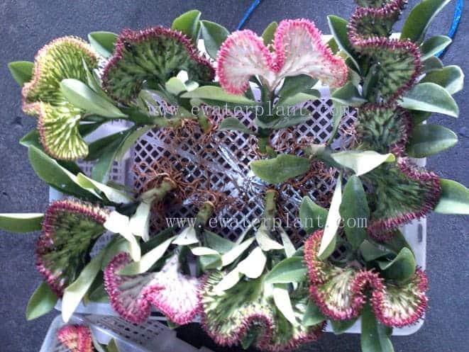 Amazing euphorbia lactea Thailand