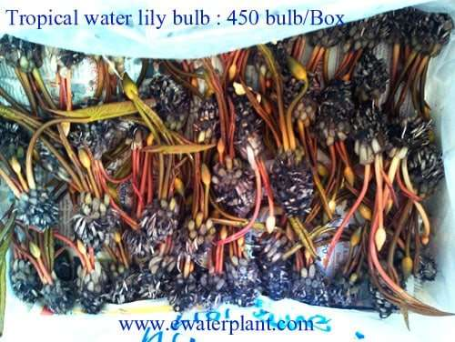 Packing water lily bulbs