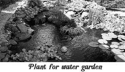 black-pond-plant