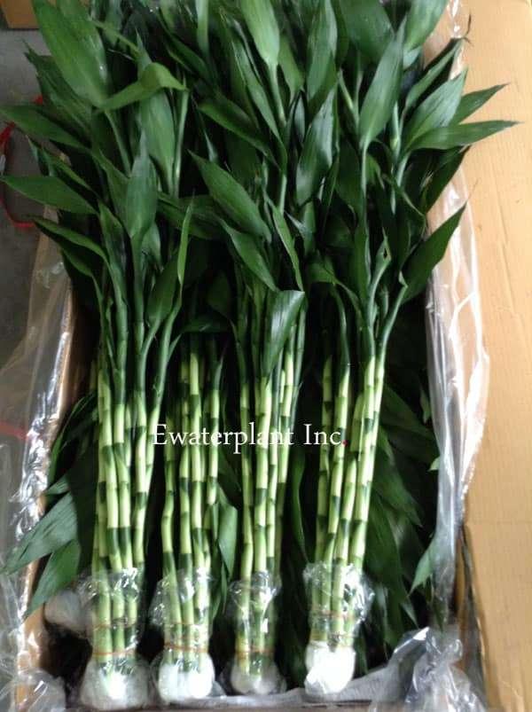 Lucky-bamboo-stick-90cm