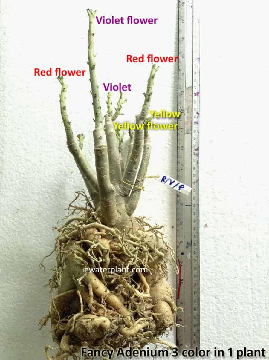 Fancy adenium 3 color in 1 plant