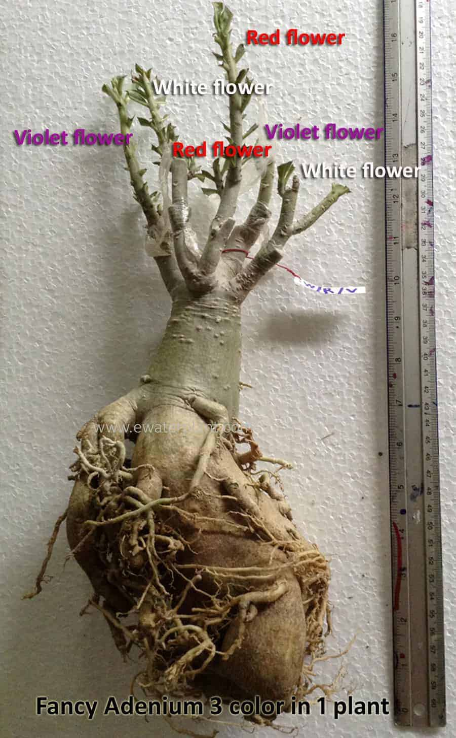 Sale Thai Fancy adenium 3 color in 1 plant
