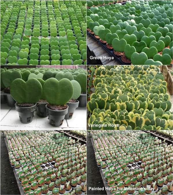 Hoya Heart Shape Green Tile Small