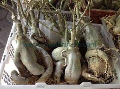 Thai triple flower adenium plant