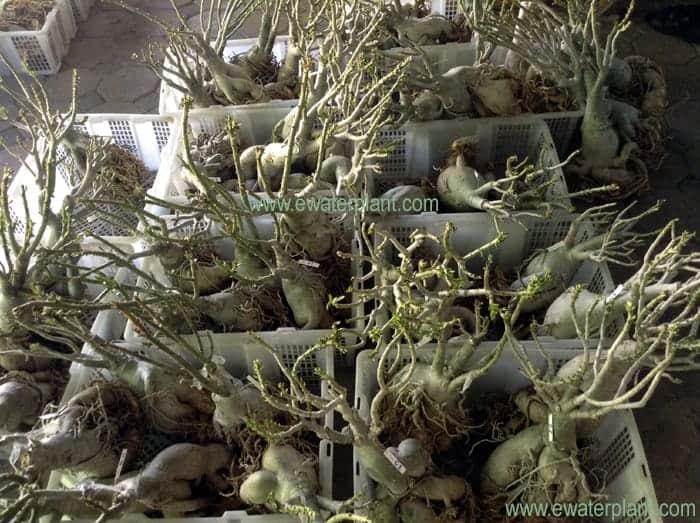 triple adenium flower plant for sale