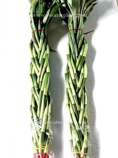 Best Lucky bamboo for sale : Dracaena sanderiana in Thailand