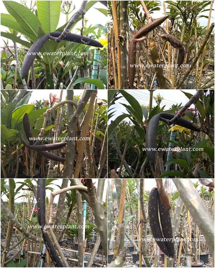 Plumeria fresh pod