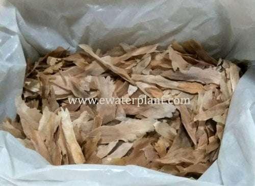 Buy Seed Plumeria