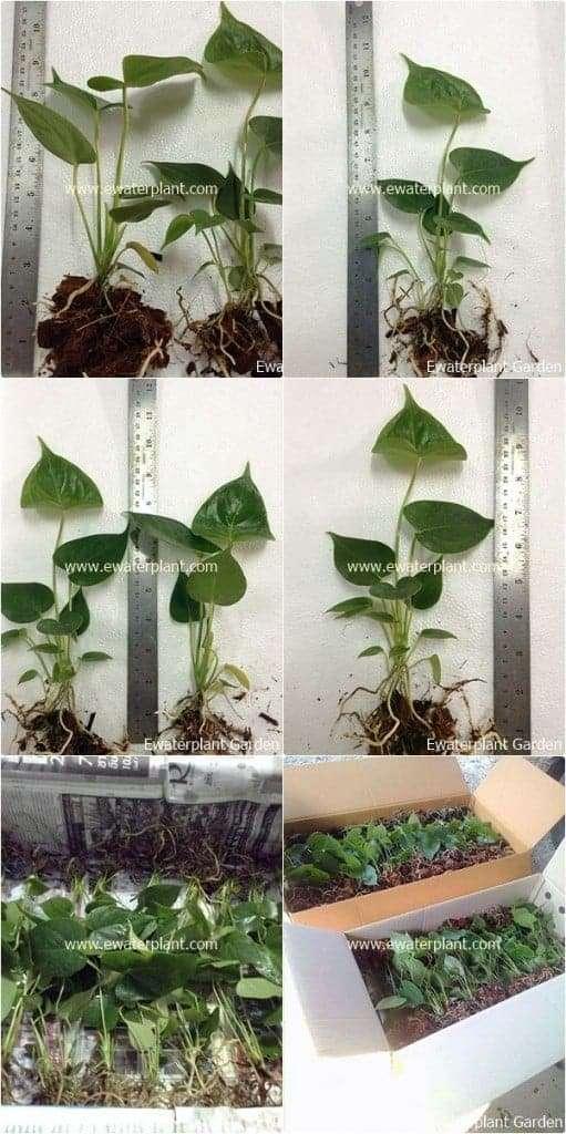 Anthurium-Seedling-Thailand-for-sale