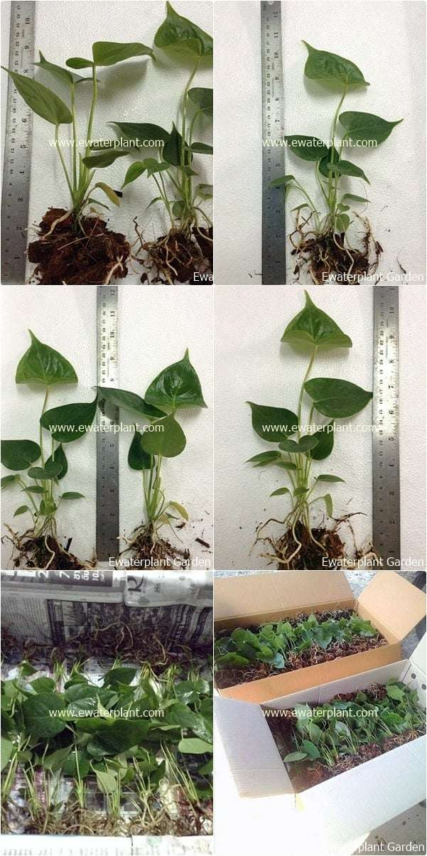 Anthurium-Seedling-Thailand-for-sale