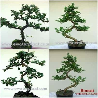 Bonsai_Catalog