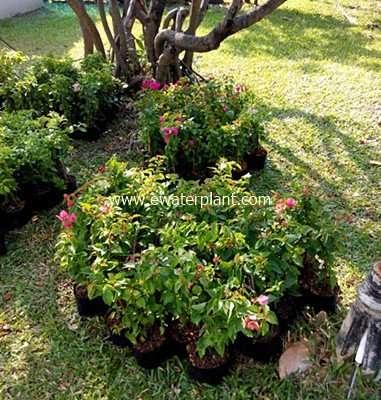 Bougainvillea-Thailand-for-sale-02