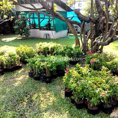 Bougainvillea-Thailand-for-sale-03