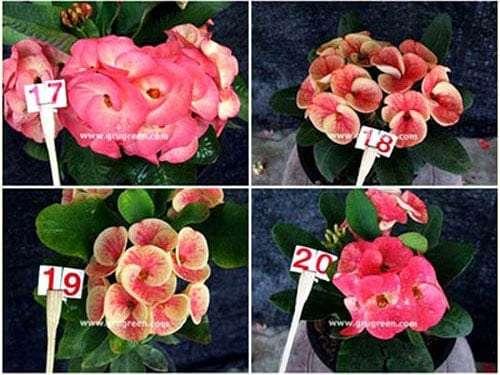 Euphorbia-milii-Catalog