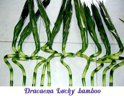 dracaea-lucky-amboo-logo