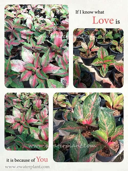 New Photo Catalog : Aglaonema plant for sale in Thailand.