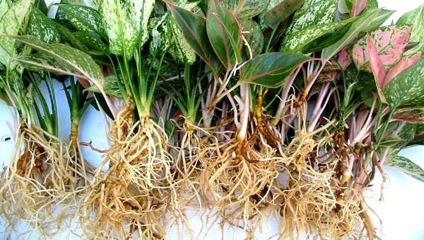 Aglaonema bare root
