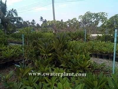 plumeria plants frangipani garden