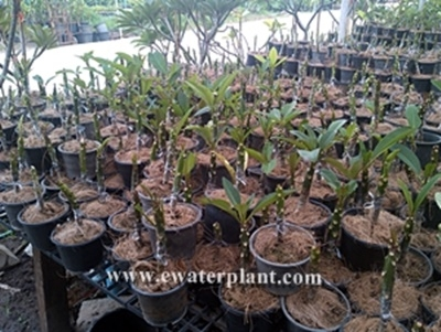 Grafted plumeria plants Thailand