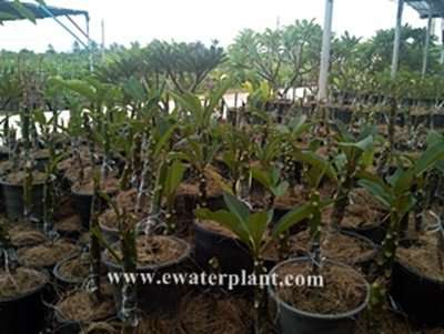 Thai frangipani cutting
