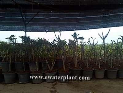 plumeria frangipani big pot