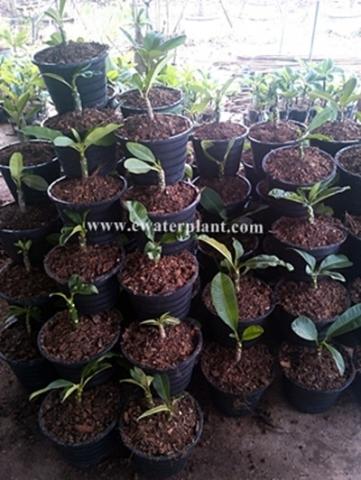 grafted plumeria plants frangipani