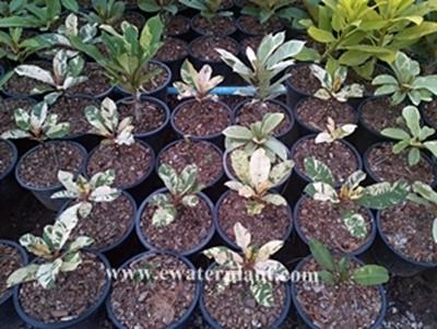 plumeria plants variegate leave