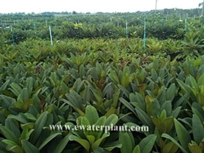 Nursery plumeria in Thailand