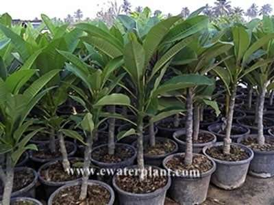 Rooted cutting plumeria