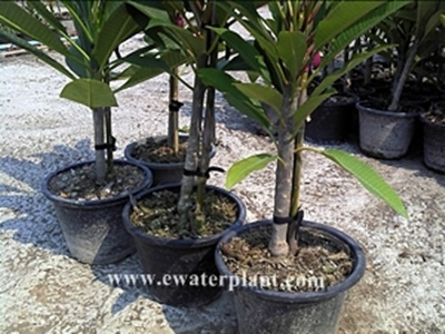 plumeria plants frangipani FLOWER