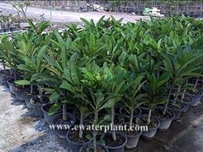 plumeria plants frangipani pot 12 inch