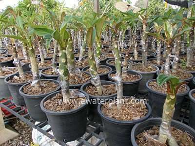 sell plumeria grafting