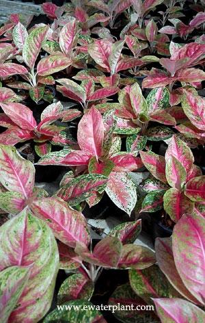aglaonema house plant