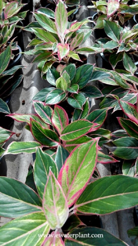 Aglaonema varieties list – Ewaterplant : Resource of ...