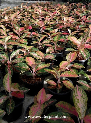 Red aglaonema Thailand