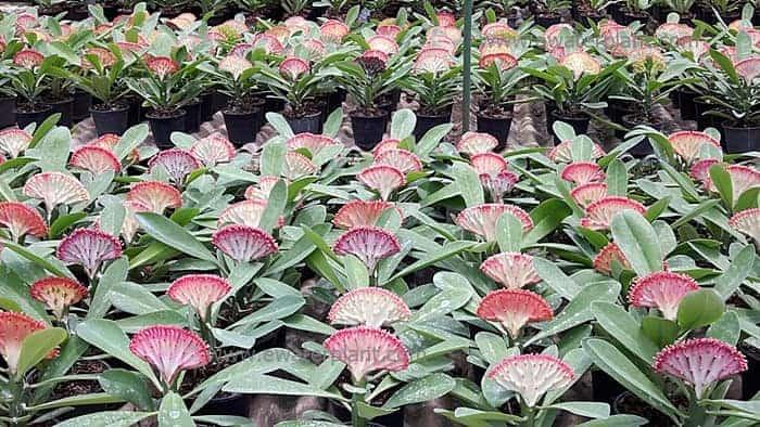 Euphorbia lactea garden