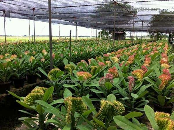 Photo Euphorbia lactea for sale