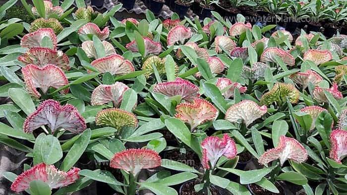 Euphorbia lactea supplier