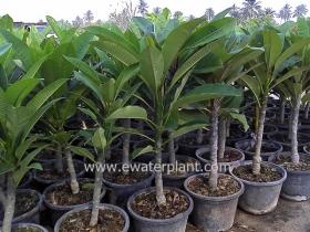 0-thailand-plumeria-garden-01