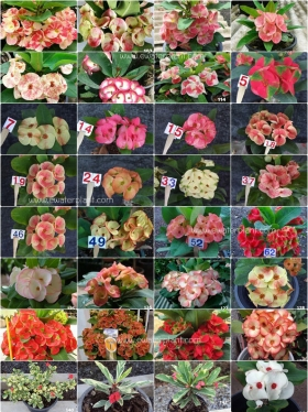 assorted-bi-colored-euphorbia-milii
