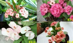 assorted-euphorbia-milii-1