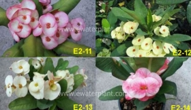 assorted-euphorbia-milii-3