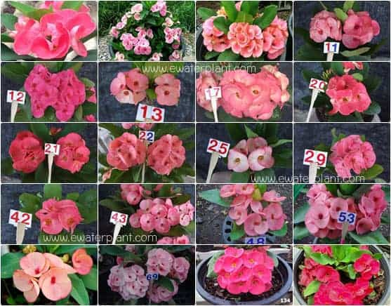 assorted-pink-euphorbia-til