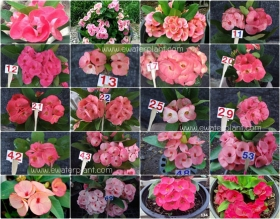assorted-pink-euphorbia-milii