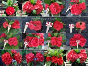 assorted-red-euphorbia-milii