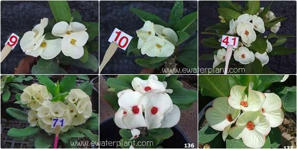 assorted-white-euphorbia-ti