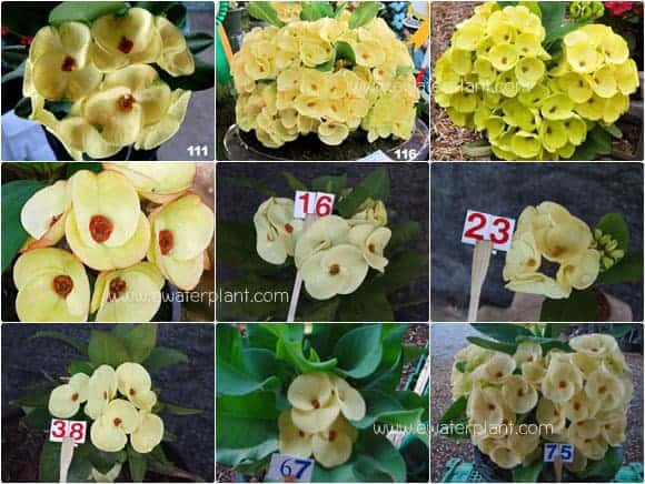 assorted-yellow-euphorbia-t
